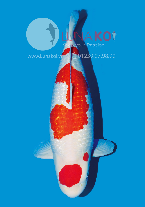All Japan Koi Show 2015