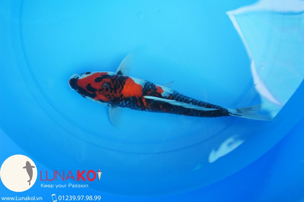 Lô cá Koi Nhật Cần Thơ