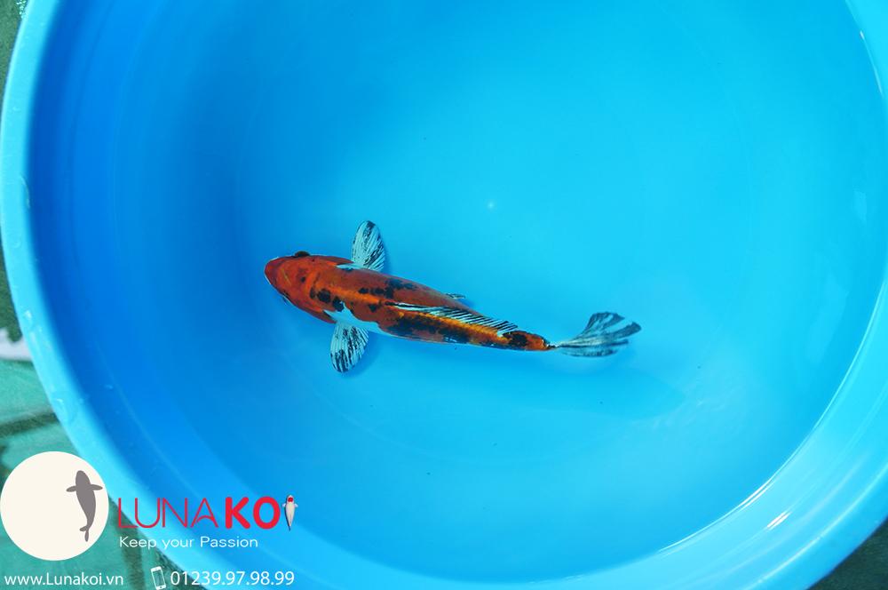 Cá Koi Nhật Bản Cần Thơ