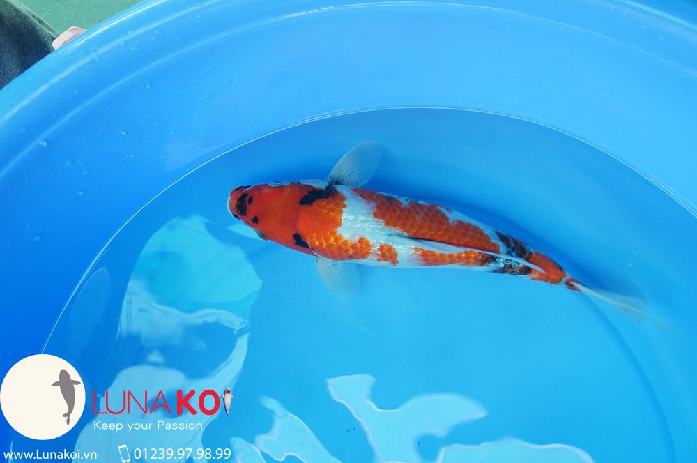 Cá chép Nhật Koi Cần Thơ