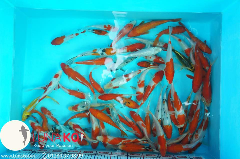 cá chép Koi Đà Nẵng