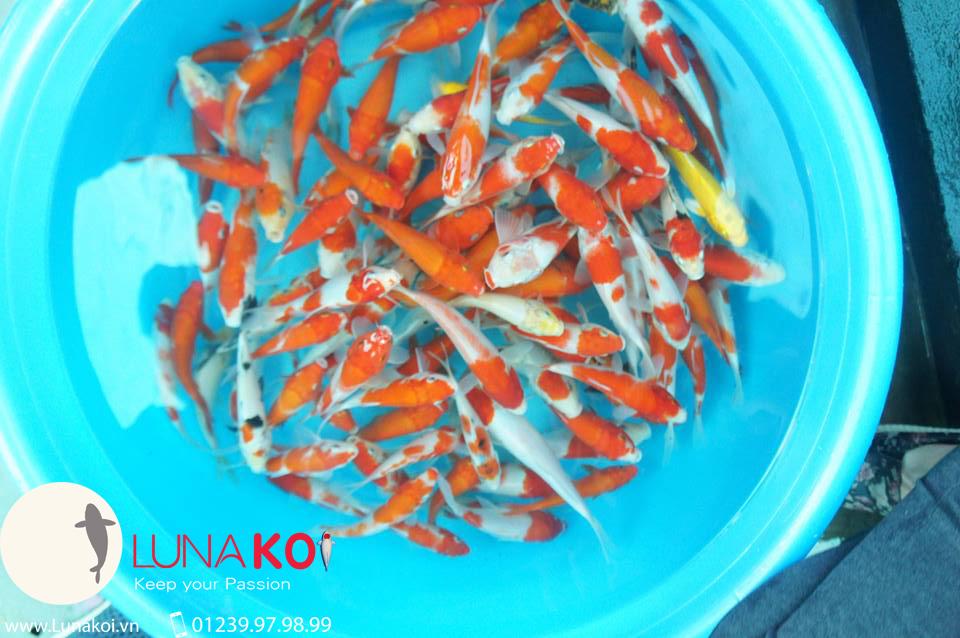 Cá chép Koi Vĩnh Long