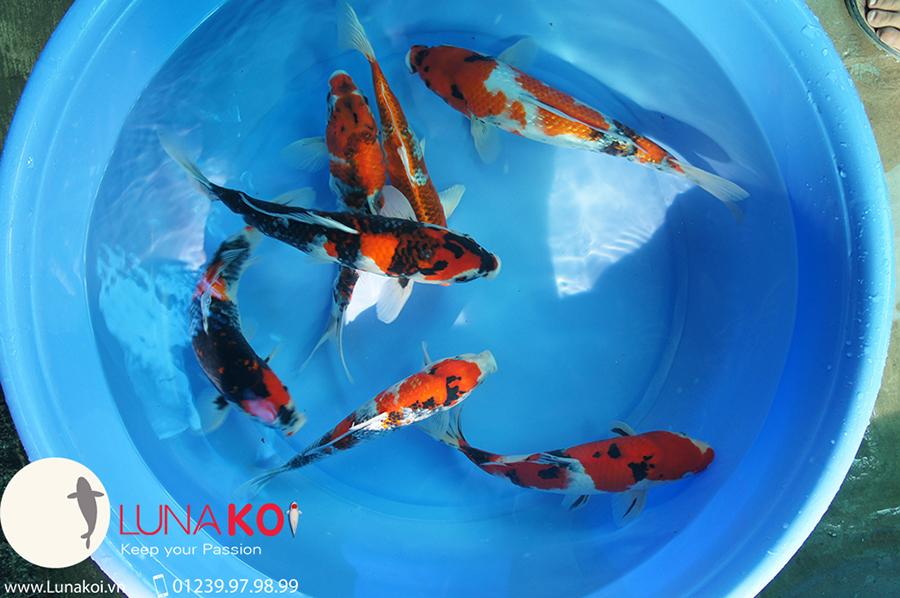 Lô cá chép Koi Nhật 2015