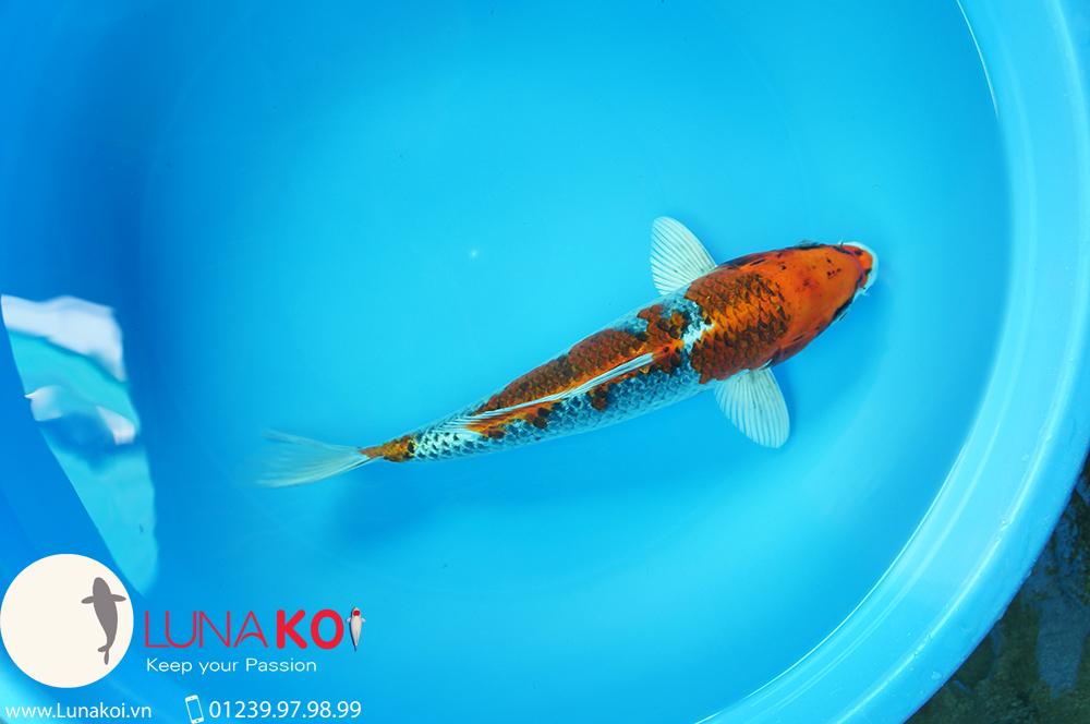 Lô cá chép Nhật chất lương cao