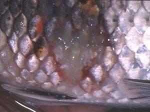 bệnh cá koi