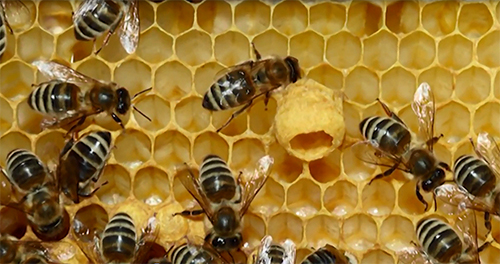phân biệt sữa ong chúa thật giả