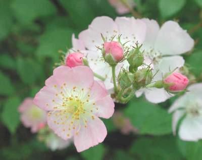 hoa tầm xuân làm thuốc - duocminhanh.com.vn