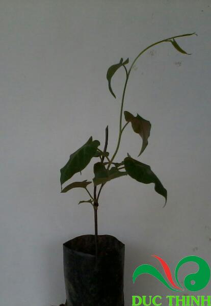 cây giống hà thủ ô 1
