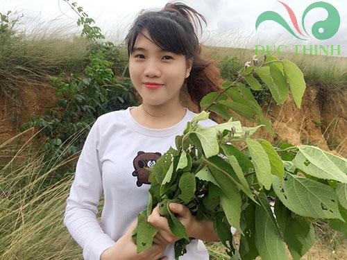 cây an xoa hỗ trợ trị bệnh gan