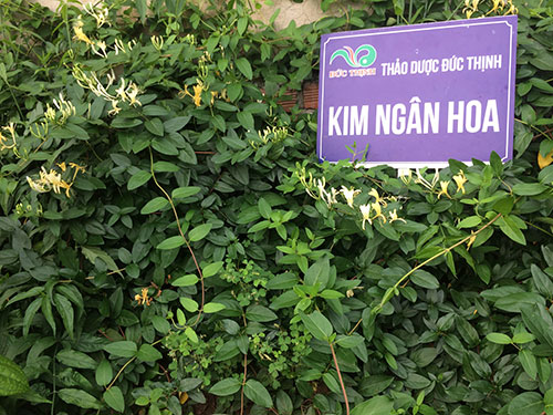 kim-ngan-hoa-1