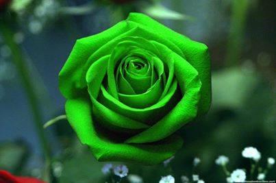 Hoa Hồng Xanh Deep Green Bí ẩn
