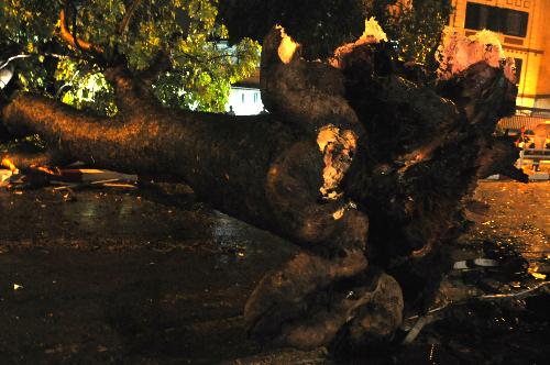 Cây cổ thụ đã đè lên chiếc taxi khiến lái xế tử vong trên đường Hùng Vương. Ảnh: Quý Đoàn
