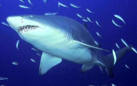 sụn cá mập vitatree