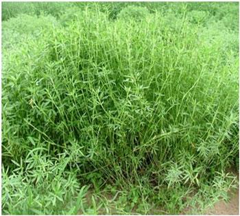 Kỹ thuật trồng cỏ Stylo cho bò