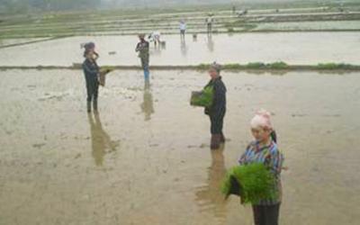 Phương pháp cấy lúa bằng kĩ thuật mạ ném