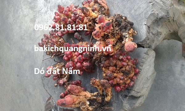 nam ngoc cau  Balanopphora fungosa