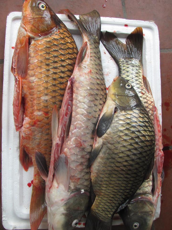 Cá chép sông Đà
