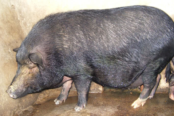 Lợn Mường