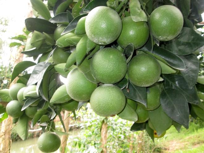 cây cam xoàn ở Lai Vung