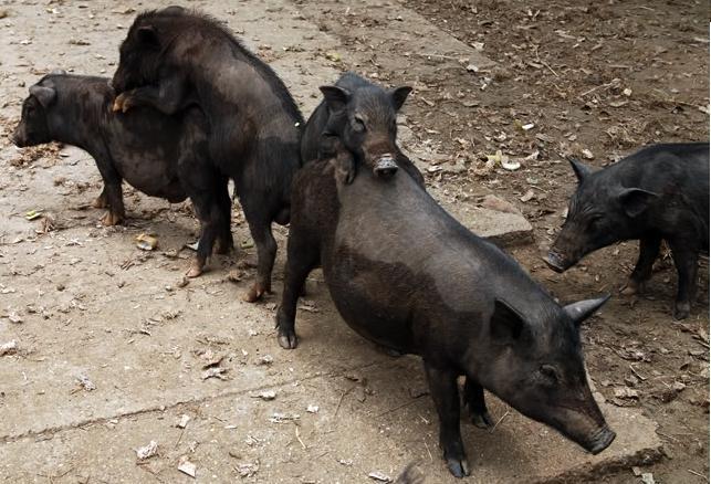 Kết quả hình ảnh cho lợn mán