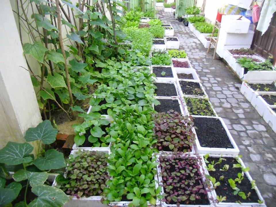 trồng rau trong thùng xốp