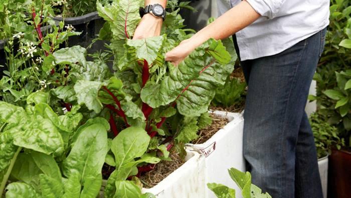 Cách trồng rau sạch trong thùng xốp 4