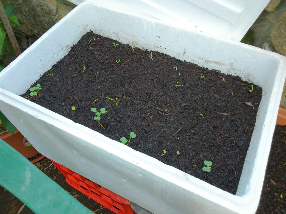 Cách trồng rau sạch trong thùng xốp 1