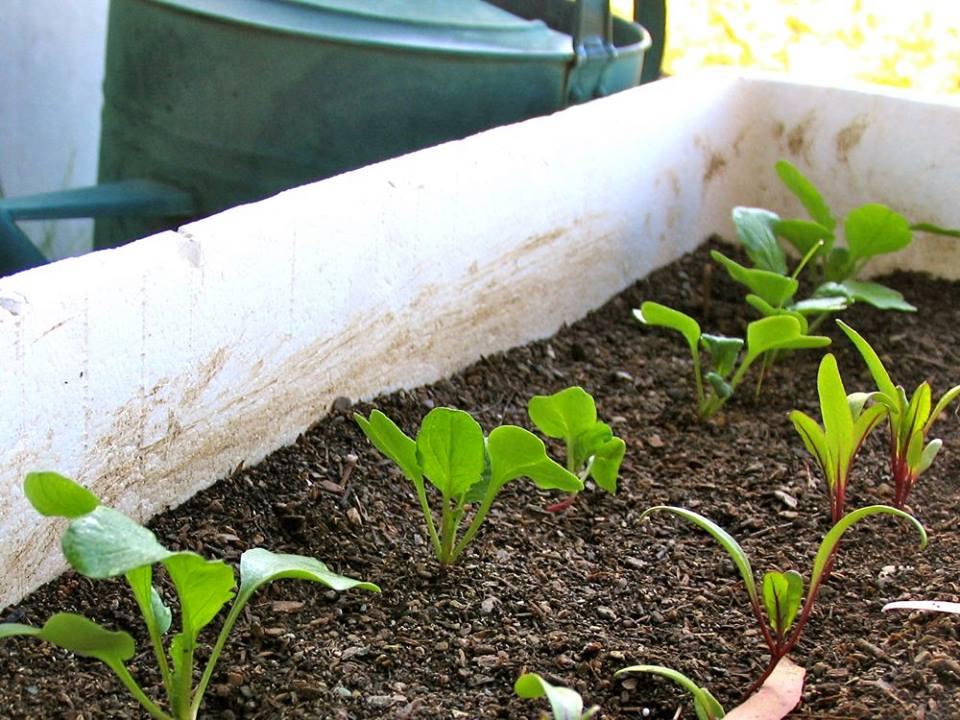 Cách trồng rau sạch trong thùng xốp 2