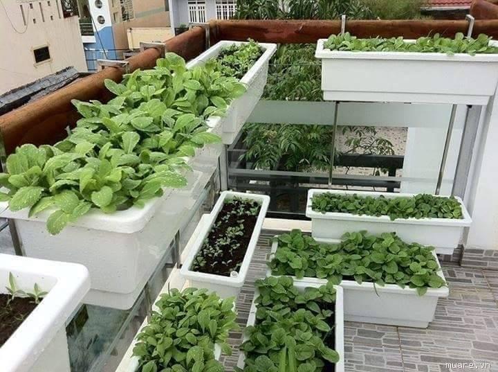 vườn rau sạch trồng trong thùng xốp