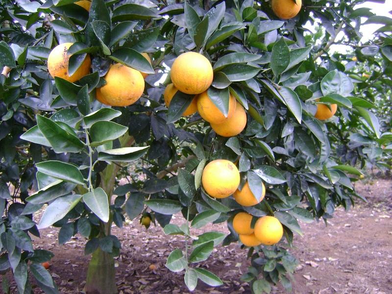 Vườn cam vinh
