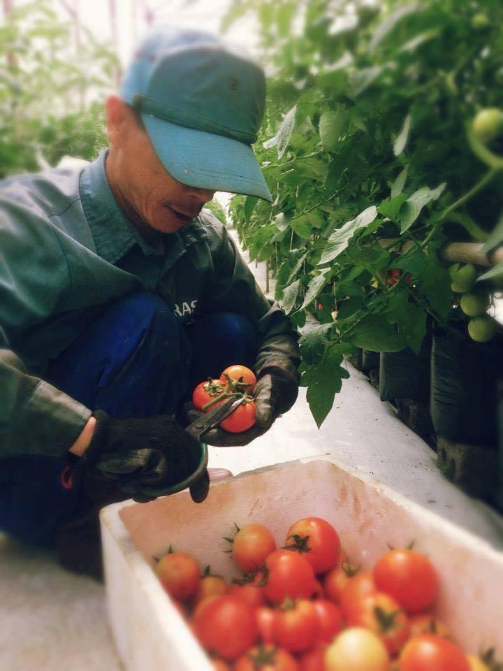 thu hoạch cà chua rasa