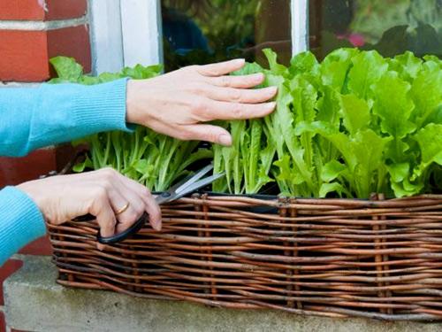 mô hình trồng rau sạch 5: chậu bên cửa sổ