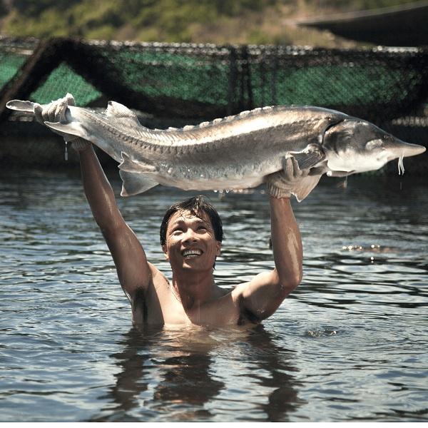 bán cá tầm Beluga khổng lồ