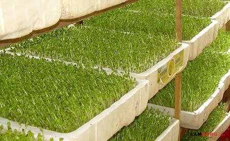 thùng xốp trồng rau mầm
