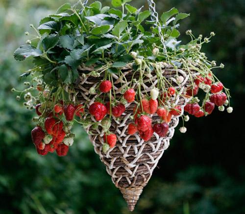 cách trồng dâu tây tiết kiệm diện tích