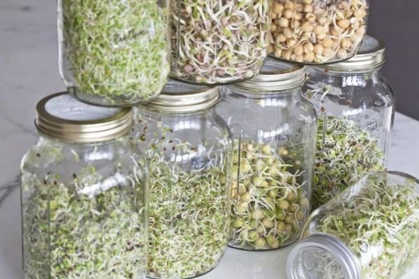 cách trồng rau mầm không cần đất