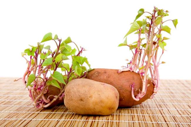 trồng rau mầm tuyệt đối không dùng khoai tây