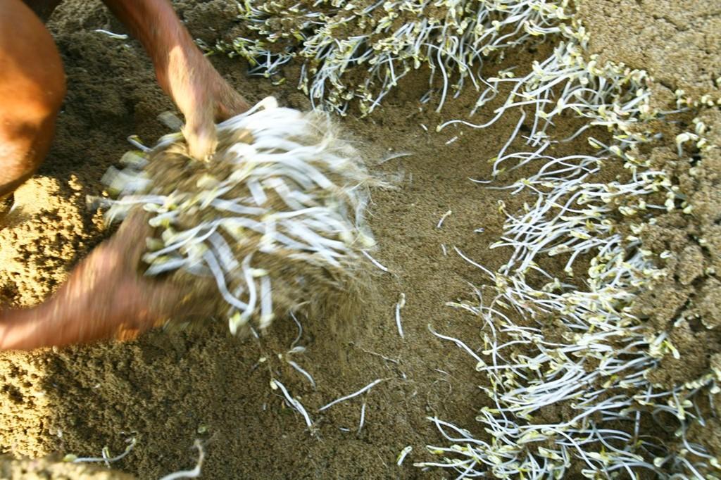 cách trồng rau mầm bằng cát