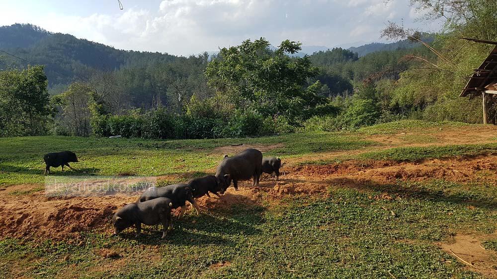 Lợn mù cang chải