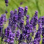 Tinh dầu lavender: những đặc tính và cách ứng dụng