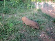Lợn rừng thịt nguyên con