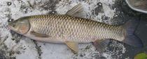 Cá trắm trắng