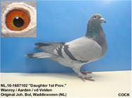 Chim đua Hà Lan