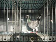 Bổn chim Janssen (6127322)