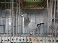 Bổn chim Norbert (4104242)