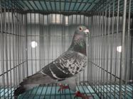 Bổn chim Norbert (4105244)