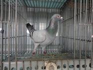 Bổn chim De Laere Luc & Maurice (3167698)