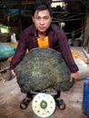 Nấm cổ linh chi 超级大灵芝 196 kg