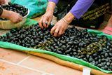 Mua hạt trám đen 乌榄