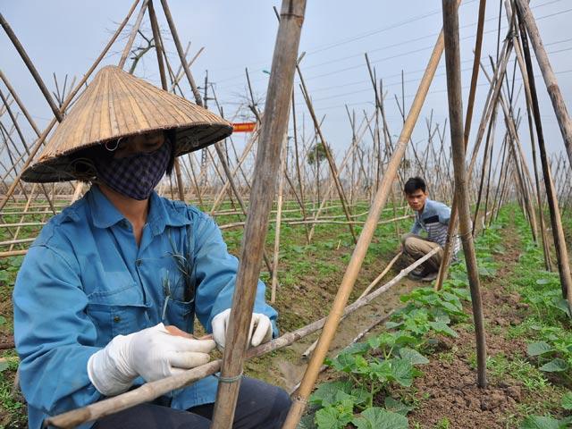 Description: nông dân, xã Tiên Dương, Đông Anh, Hà Nội, trồng rau an toàn, rau an toàn